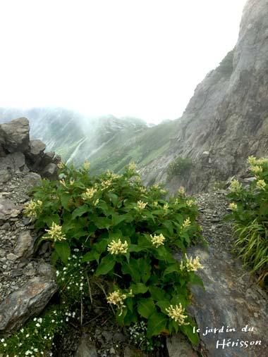 北岳お花2.jpg