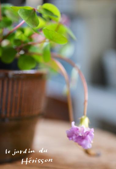 オキザリス-ピンクの八重.jpg