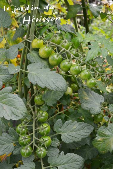 グリーントマト2016380.jpg