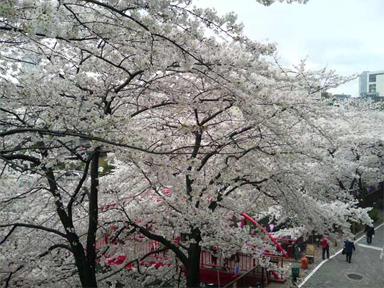 目黒川 お花見 桜