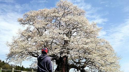 岡山県醍醐桜
