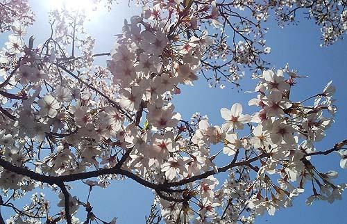 岡山県井原市の桜