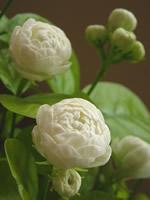 八重咲きの茉莉花