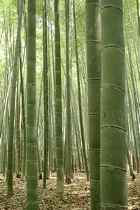 手入れされた竹林