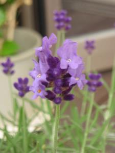 これが開花したラベンダー