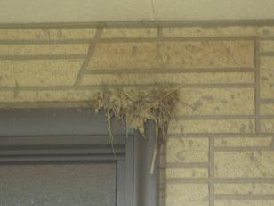 ツバメが巣作り
