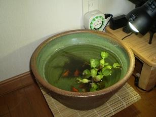 ウチの金魚鉢1