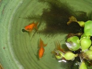 ウチの金魚たち