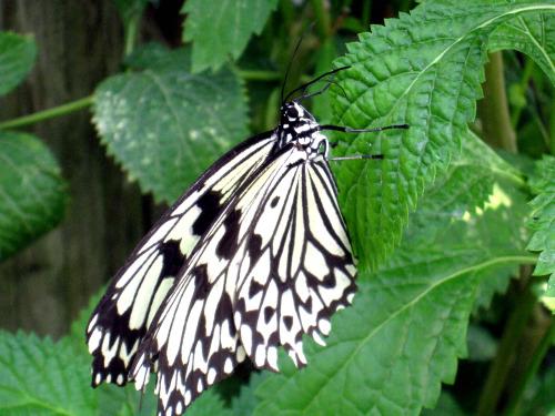 大胡麻斑蝶