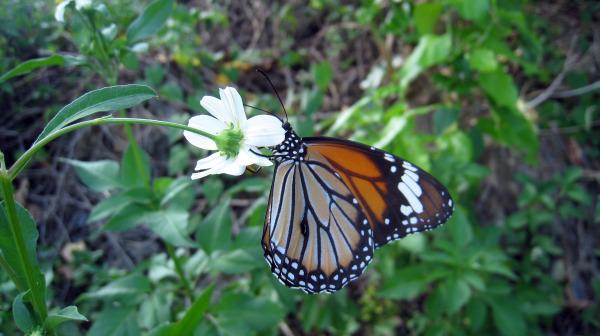 筋黒樺斑蝶