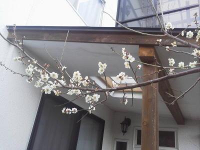 白梅の咲き始めた枝