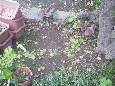 台風で庭に落ちた梅