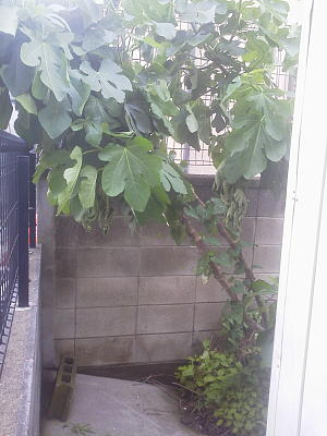 台風で傾いたイチジクの樹