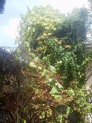 かぼちゃの木