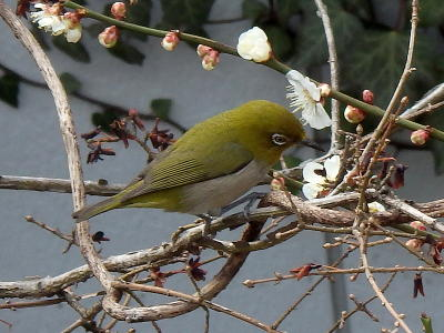 梅に来た鳥