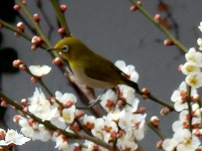 梅に来た鳥2