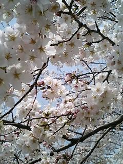 タマサイの桜