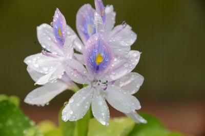 布袋草の花