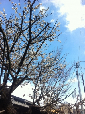 こばこ前の「関西美術院」さんの梅でございます。