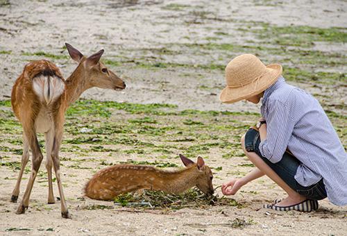 宮島の砂浜で鹿にご飯