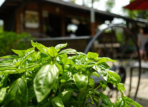 『ビラパワ』庭先のフレッシュ・バジル