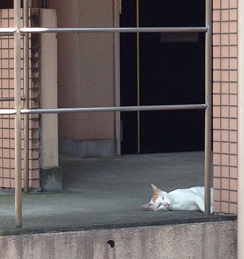 マンションの外廊下で昼寝するラテ。