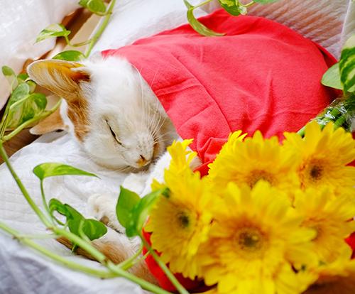 死んだラテ。黄色い花が似合う。