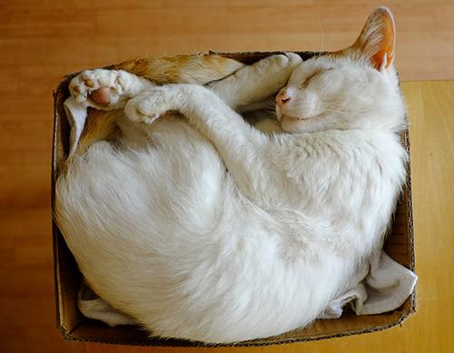 猫お約束の箱入り姿。『ラテ丼』。