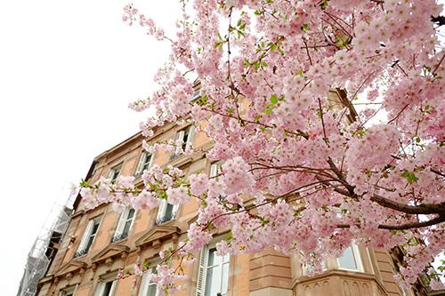 ストラスブールのアーモンドの木の花