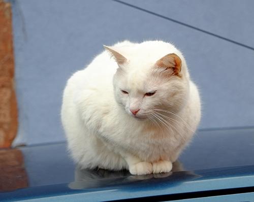 リヴォビレ/小径/車の屋根の上の白猫2