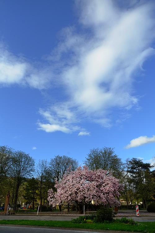 リヴォビレ/アーモンドの満開の木と青空
