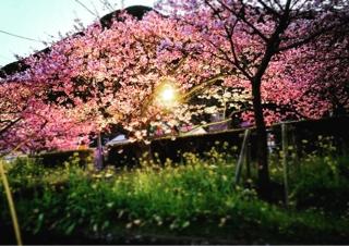 河津桜の夜桜ライトアップ