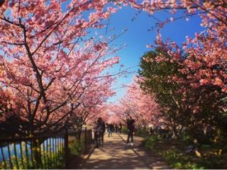 パストエレガンテからの河津桜
