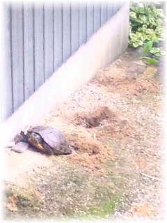 亀の出産1.jpg