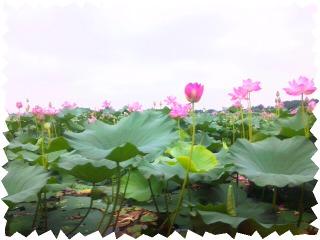 蓮の花1.jpg