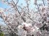 桜2010 2