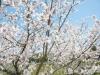 桜2010 3