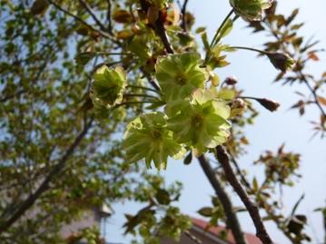 緑色の花の桜