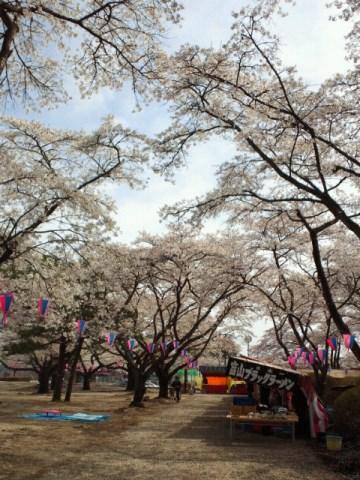 黒磯公園桜祭り.jpg