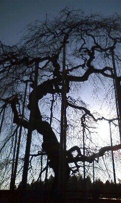 八百年桜.jpg