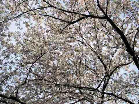 満開の桜は青空に映えます