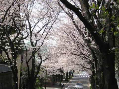 桜エネルギーをもらう