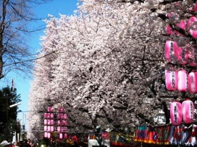 桜祭りが開催されている桜並木