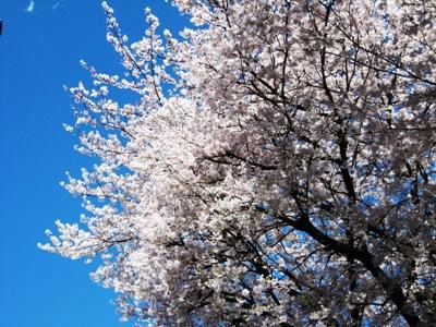 青い空に桜が映える