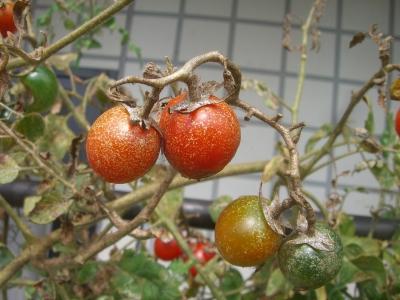 トマトサビダニの被害果実