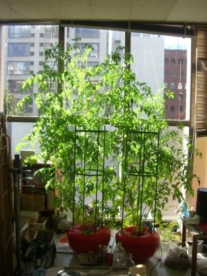 室内栽培ミニトマト