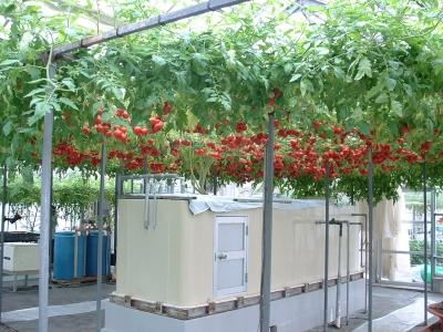 水耕栽培水平トマト
