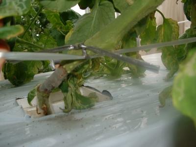 灰色カビ茎