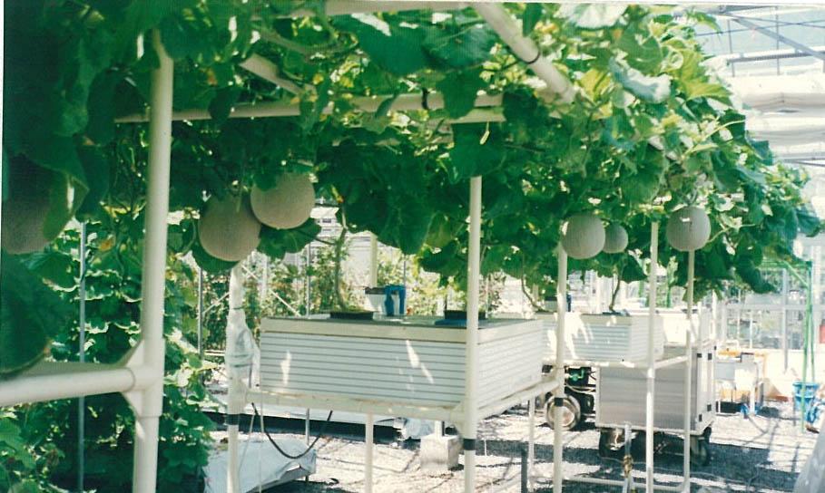 メロン水平栽培