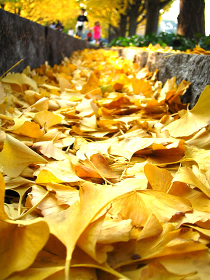 20041107_ginkgos